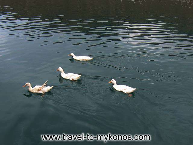 WHITE DUCKS - A company of white ducks next to the fishing boats in Tourlos