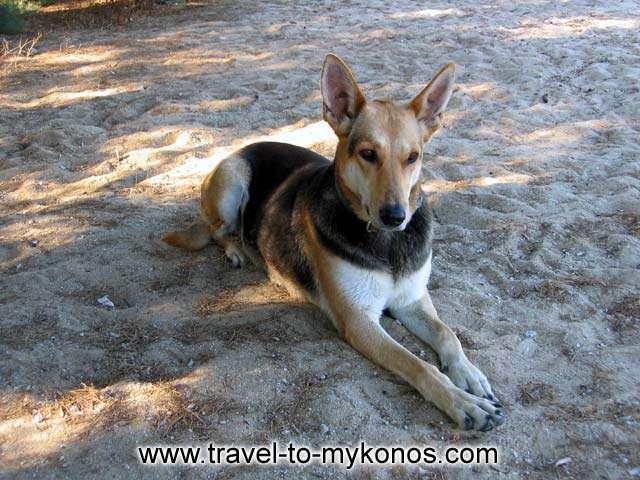 A DOG - A beautiful dog on the beach of Kalafatis in Mykonos