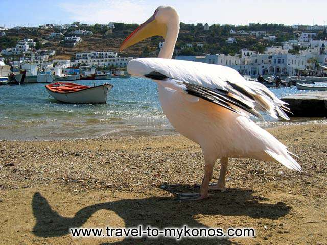 Petros, another symbol of Mykonos MYKONOS PHOTO GALLERY - PETROS
