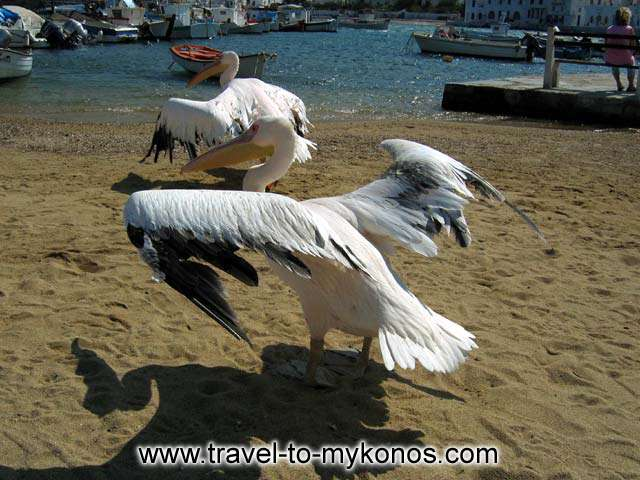 PETROS AND IRINI - Petros and Irini, the two pelican dancing on the beach