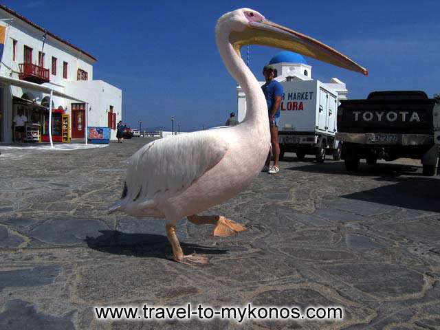 Petros in his usual spot, the fish market in Gialos MYKONOS PHOTO GALLERY - PETROS