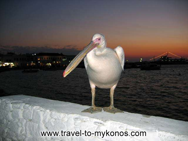 PETROS - Petros, the famous Myconian pelican in Chora just after the sunset