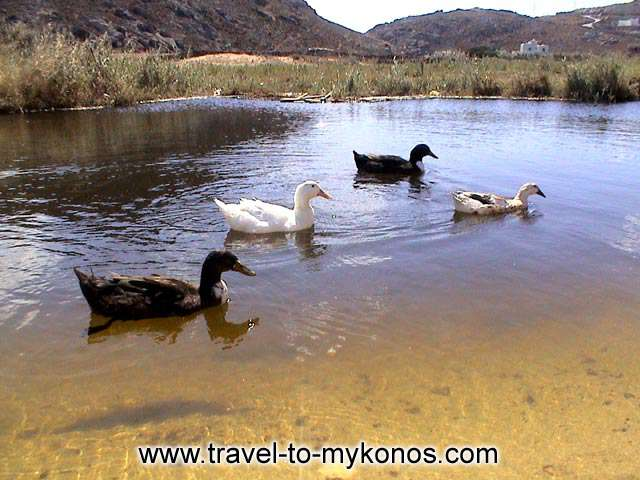 DUCKS - Do you believe that this picture is from the cosmopolitan island of Mykonos?