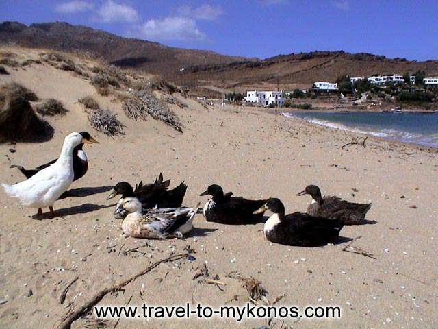 PANORMOS - What a lovely picture! The ducks enjoy the sun at Panormos beach...